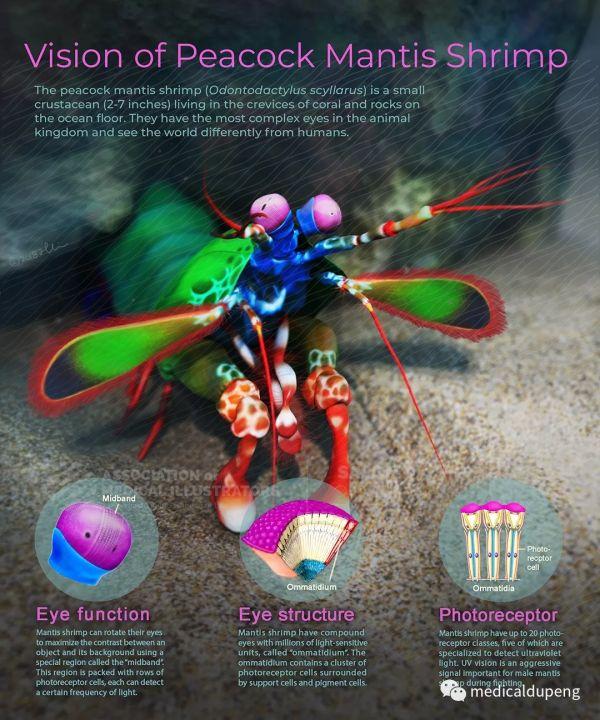 孔雀螳螂虾的视觉 Vision of Peacock Mantis Shrimp 美国医学插画师协会 2018 沙龙展