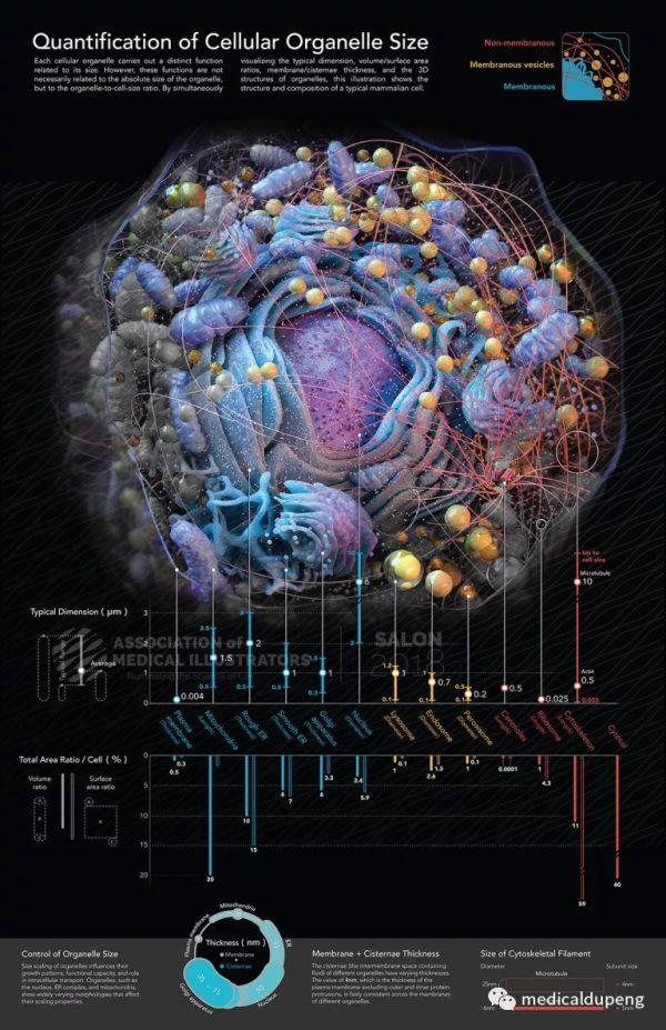 细胞内细胞器大小的量化 Quantification of Cellular Organelle Size 美国医学插画师协会 2018 沙龙展