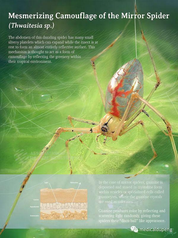 魔镜蜘蛛的迷幻伪装 Mesmerizing Camouflage of the Mirror Spider 美国医学插画师协会 2018 沙龙展