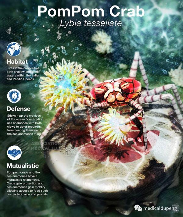 绒球蟹 Pompom Crab 美国医学插画师协会 2018 沙龙展